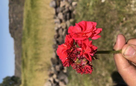 صورة رائعة لوردة حمراء باستخدام تصوير البورترية